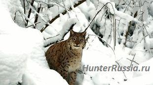 3 Найцікавіших способу полювання на рись