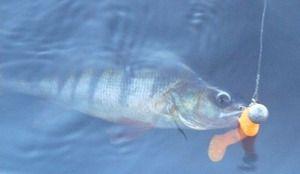 Блешня для риболовлі на окуня влітку