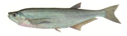 Чехоня - рибалка