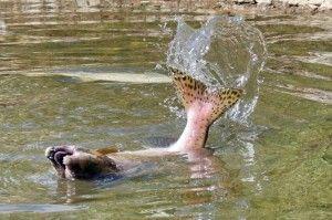 Чим може бути корисна чи шкідлива риба кета