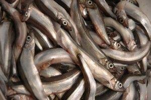 Мойва користь і шкода цінність цієї риби