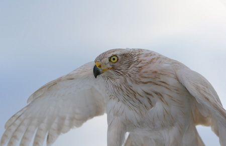 Дресирування ловчої птиці для полювання в угон