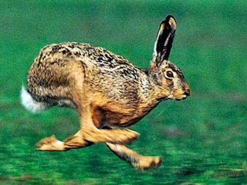 Заєць бігає дуже швидко