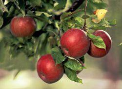 Яблуня домашня