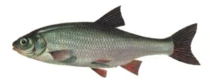 Язь - види риб