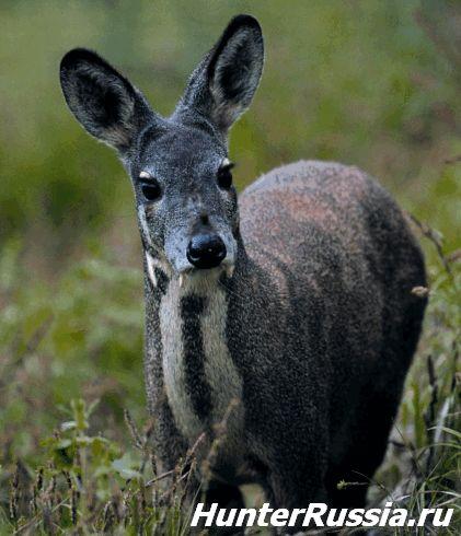 Кабарга (мускусний олень) - фото і відео