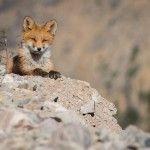 Лисиця сидить на березі