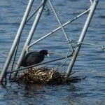Гніздо лиски на затоплених конструкціях