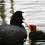 Лиска годує пташеня