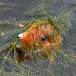 Пташеня лиски сховався в воді