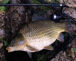 Як правильно запарити горох для риболовлі
