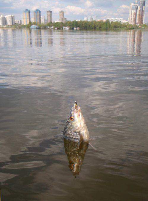 Риба, спіймана на вудилище з боковим кивком