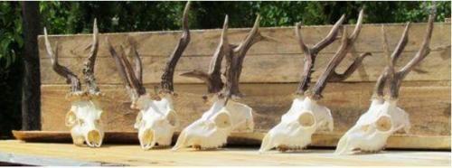 Відмінно оброблені черепа з рогами