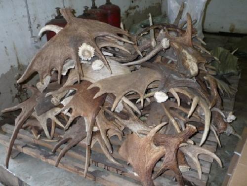 Скинуті роги лося мають цінність тільки в перший рік