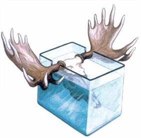 Виварювання черепа лося - ємність зі спеціальними отворами
