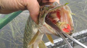 Як зберегти рибу на тривалої риболовлі влітку - кращі перевірені способи