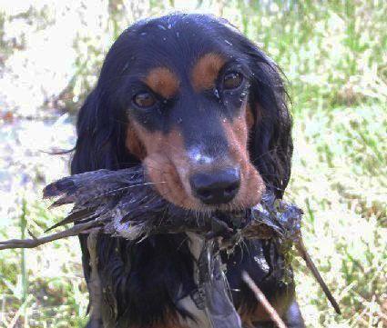 Як вести себе з лягавим собакою на полюванні