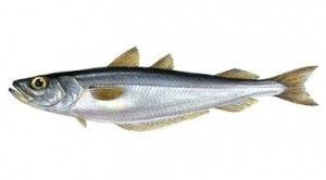 Яку користь можна отримати від риби путасу?