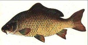 Короп - користь і шкода цієї риби для здоров`я