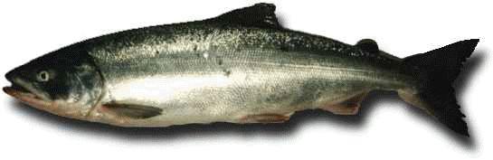 Кета - риба наших водойм