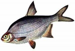 Коли йде на нерест риба густера