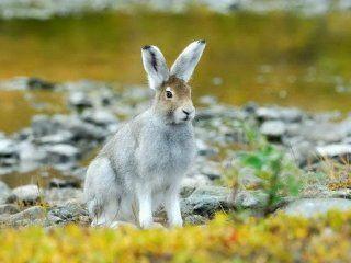 Колективні полювання на зайця - види, правила, організація, проведення