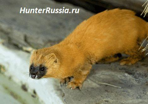 Колонок. Тварини сибірської тайги