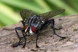 Кімнатна муха