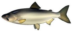 Червона риба сприяє довголіттю