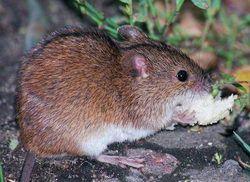 Лісова миша