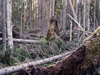 Бурелом - місце битви двох лісовиків