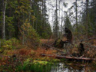 Лісовик - реальне фото
