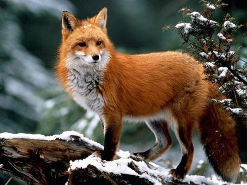 Лисиця - про звички, місцях проживання цих хижаків і кілька порад по полюванню на них