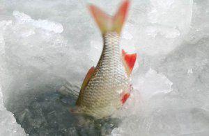 Ловля красноперки взимку