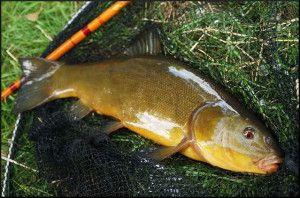 Ловля лина на поплавкову вудку: оснащення вудки, кращі приманки. Відео