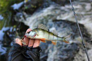 Поради досвідчених рибалок як краще ловити окунів