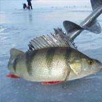 Ловля окуня з льоду: готуємо снасть