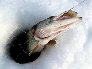 Ловля щуки на жерлицу взимку: особливості та відео