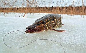 Зимова риболовля на щуку на жерлиці