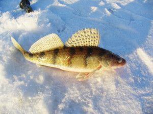 Ловля судака взимку на тюльку. Відео