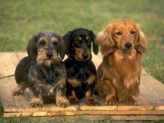 Маленькі мисливські собаки - такси: історія породи, цікаві факти