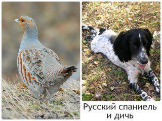 Російський спанієль відмінно працює і по водоплавної і по польовій дичині