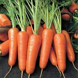 Морква посівна