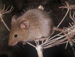 Миша-крихітка