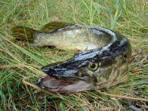 На риболовлі в бурейском водосховище щуки стали рідше ловиться