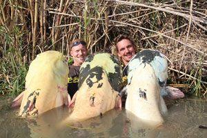 Неймовірні гігантські соми спіймані в річці ебро