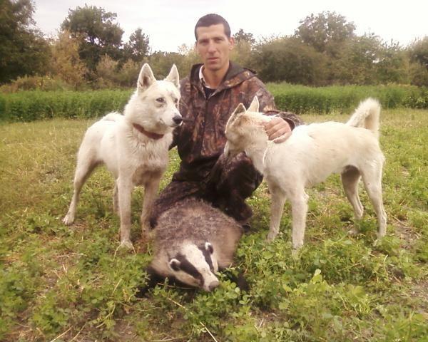 Полювання на борсука з лайкою вдень і вночі: підготовка і особливості