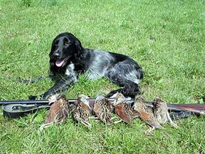 Собака для полювання на глухаря