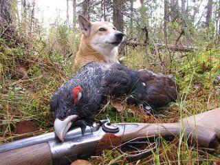 Полювання на глухаря з лайкою