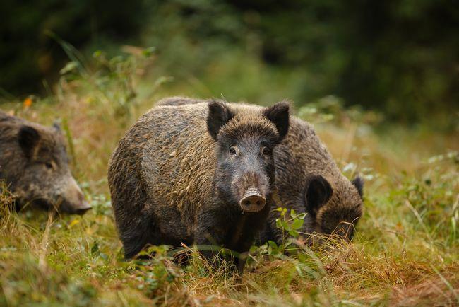 Полювання на кабана влітку: основні правила та способи